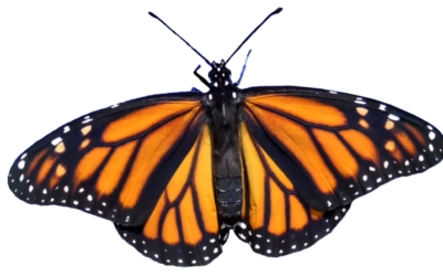 MONARCH BUTTERFLY MIGRATION FOR SPANISH CLASS